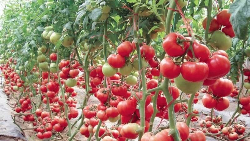 """Томат """"жонглер"""" f1: описание гибридного сорта, рекомендации по выращиванию хорошего урожая помидор русский фермер"""
