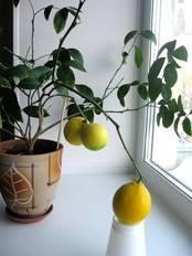 Как вырастить лимон в домашних условиях в горшке