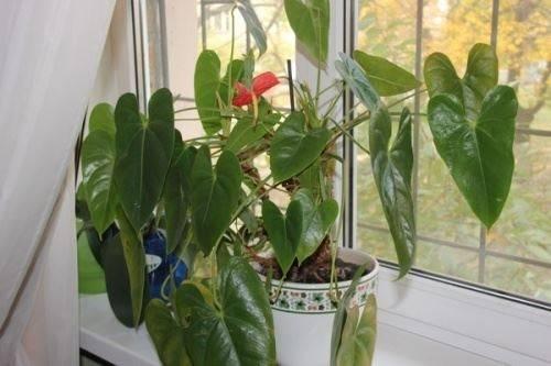 Антуриум — болезни листьев и корней, причины, фото, описание и лечение