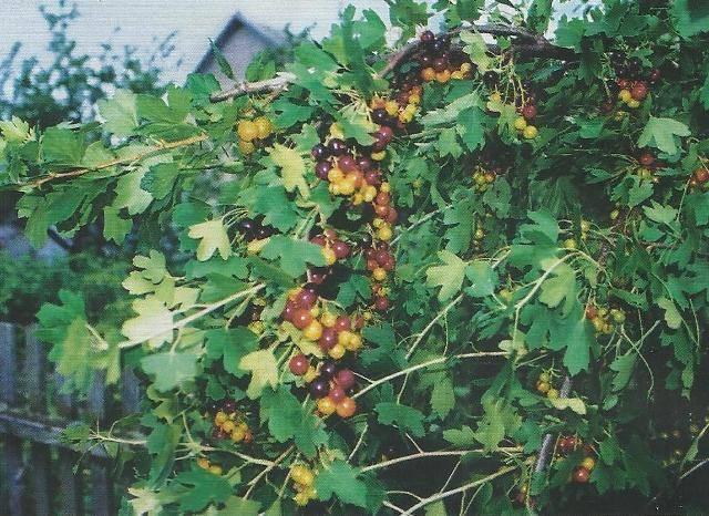 Смородина золотистая выращивание и уход, а также описание сортов с характеристикой и отзывами, в том числе для подмосковья