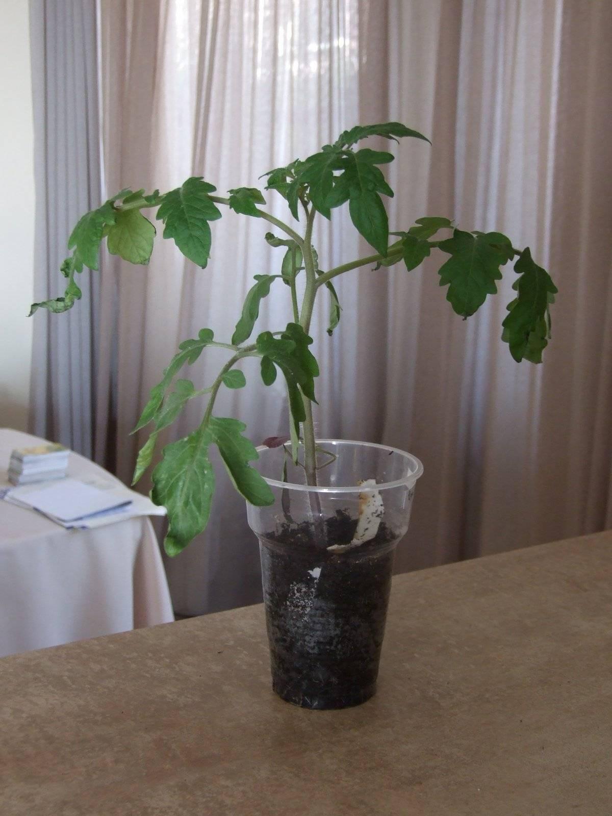Лучшие сорта черные томатов — характеристика, описание, фото
