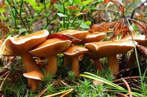 Горькушка - гриб iv категории, который можно солить
