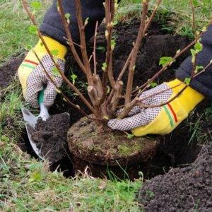Черная смородина осенью: сроки, технология, схема посадки, правила ухода за саженцами, взрослыми растениями, особенности обрезки