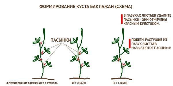 Как растут баклажаны в открытом грунте и в теплице? почему растут плохо?