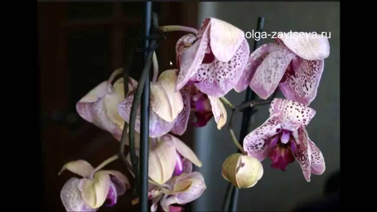 6 причин увядания цветков орхидеи. почему сохнут цветы, способы, как спасти растение?