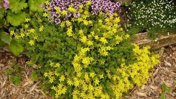 Седум: посадка и уход, фото, размножение. очиток выращивание в открытом грунте и сочетание в ландшафтном дизайне