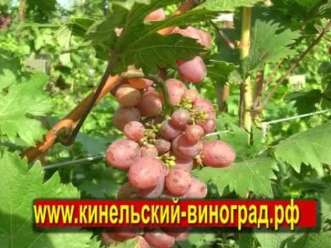 Кинельский виноград — лучшие сорта