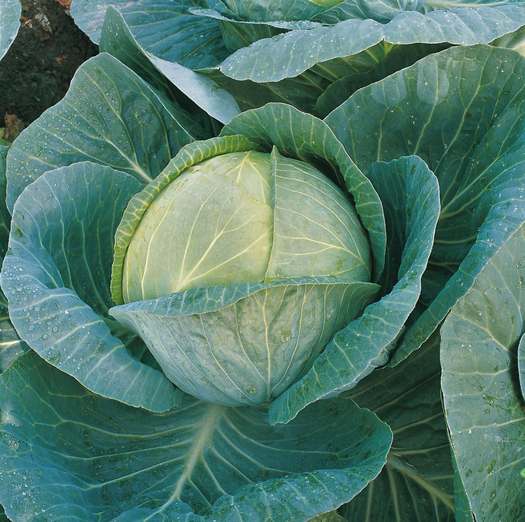 Характеристика капусты сорта крауткайзер - агрономы