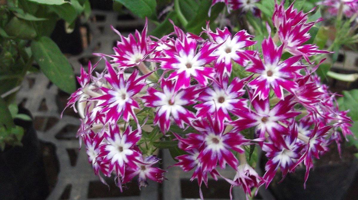 Друммонда - 79 фото роскошно красивых типичных садовых цветов