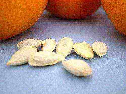 Апельсиновое дерево из косточки в домашних условиях – выращиваем экзотику