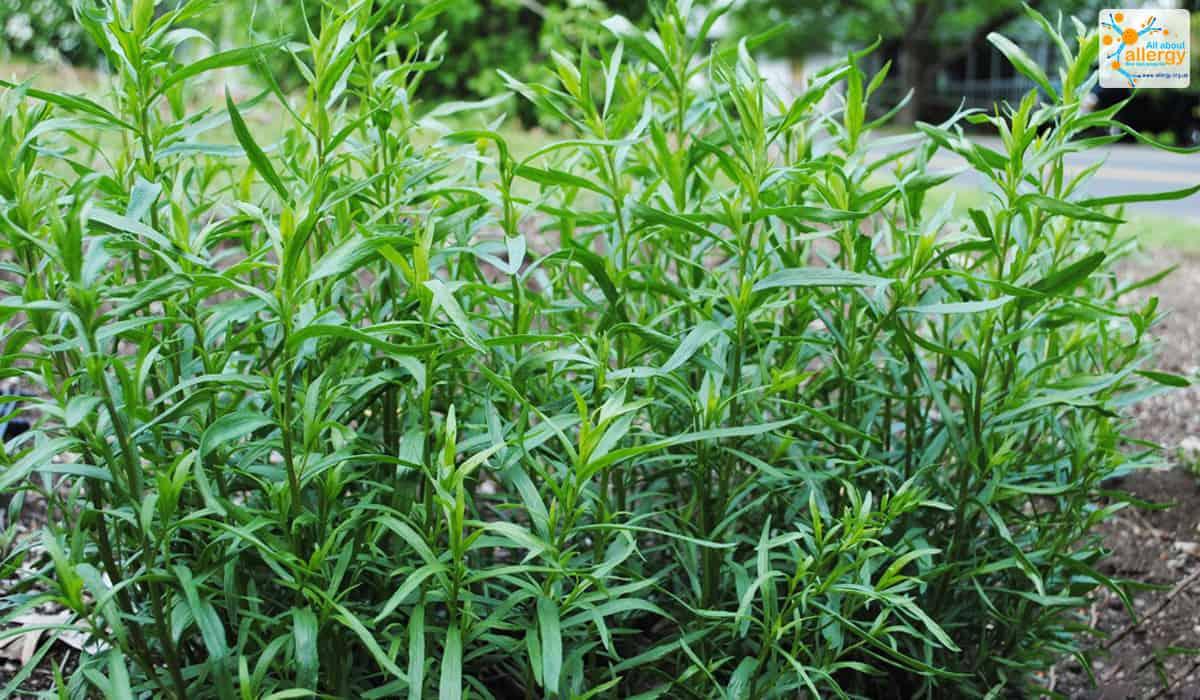 Где растет трава полынь: в какой зоне, фото — selok.info