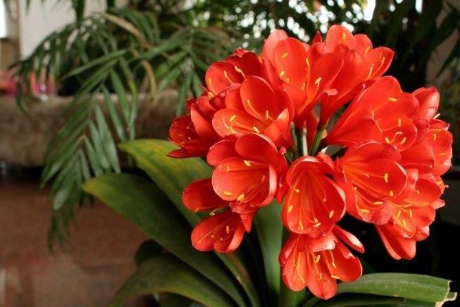 Кливия: уход в домашних условиях, фото цветка, пересадка