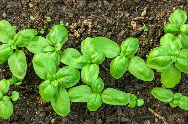 Пряный куст на грядке: выращивание базилика в открытом грунте