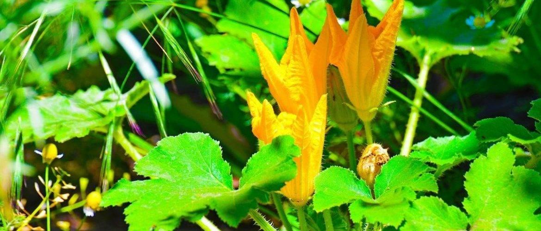 Как решить проблему пустоцвета на кабачках