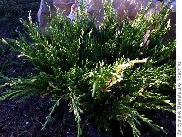 Можжевельник горизонтальный андорра компакт (juniperus horizontalis andorra compact),хвойные,можжевельник,кустарники,купить можжевльник,саженцы,посадка,уход,купить можжевельник в интернет-магазине,сад