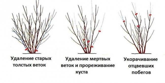 Смородина осенью - уход, обрезка, подкормка. подготовка к зиме
