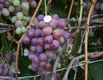 Особенности выращивания винограда низина — плюсы и минусы сорта