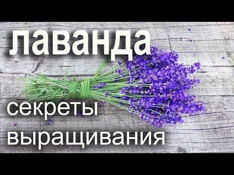 Цветок лаванда - полезные свойства и рецепты эффективного применения