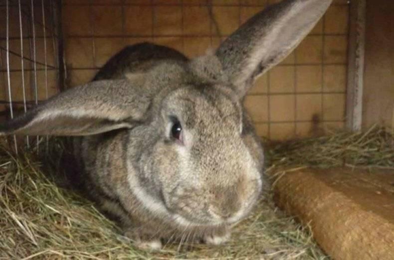 Почему декоративный кролик чихает и как лечить насморк у грызунов