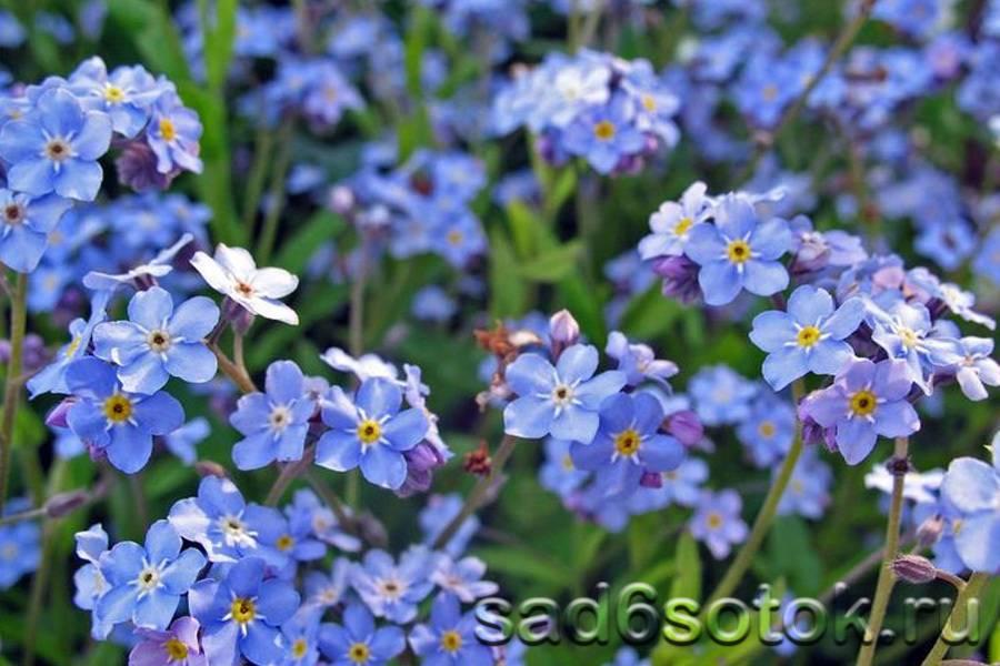Как выглядит цветок незабудка: где растет, описание видов и фото