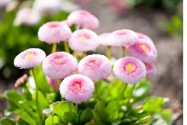 Маргаритки многолетние: фото цветов, особенности выращивания и ухода, размножение растения, популярные сорта и виды