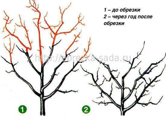 Обрезка сливы весной схема формирования и омолаживания ветвей, видео