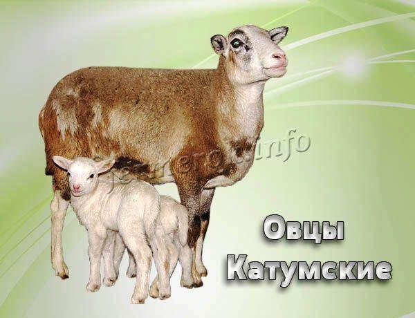Катумские овцы: описание породы с фото и видео
