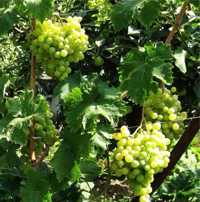 Характеристики винограда с ранним сроком созревания «красный восторг»
