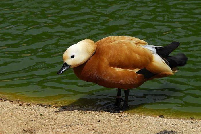 ᐉ красная утка (огарь): описание породы, фото, ценность, уход и содержание, отзывы - zookovcheg.ru