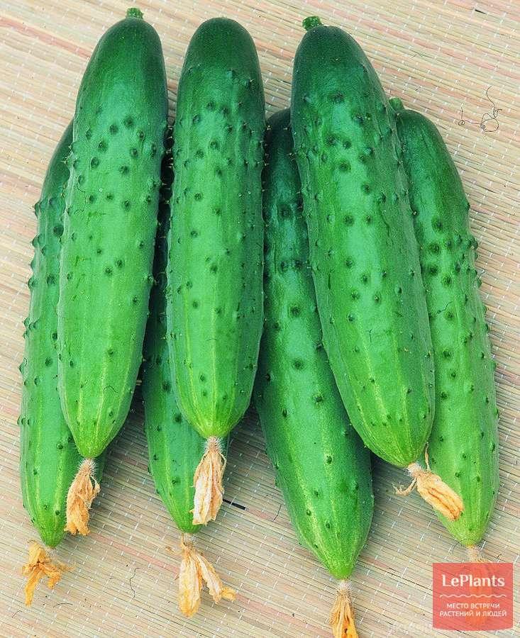Огурец ухажер f1: описание сорта, фото, отзывы, урожайность