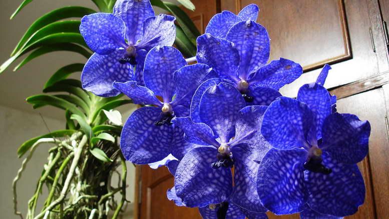Орхидея: как вырастить роскошный цветок из тропиков своими руками