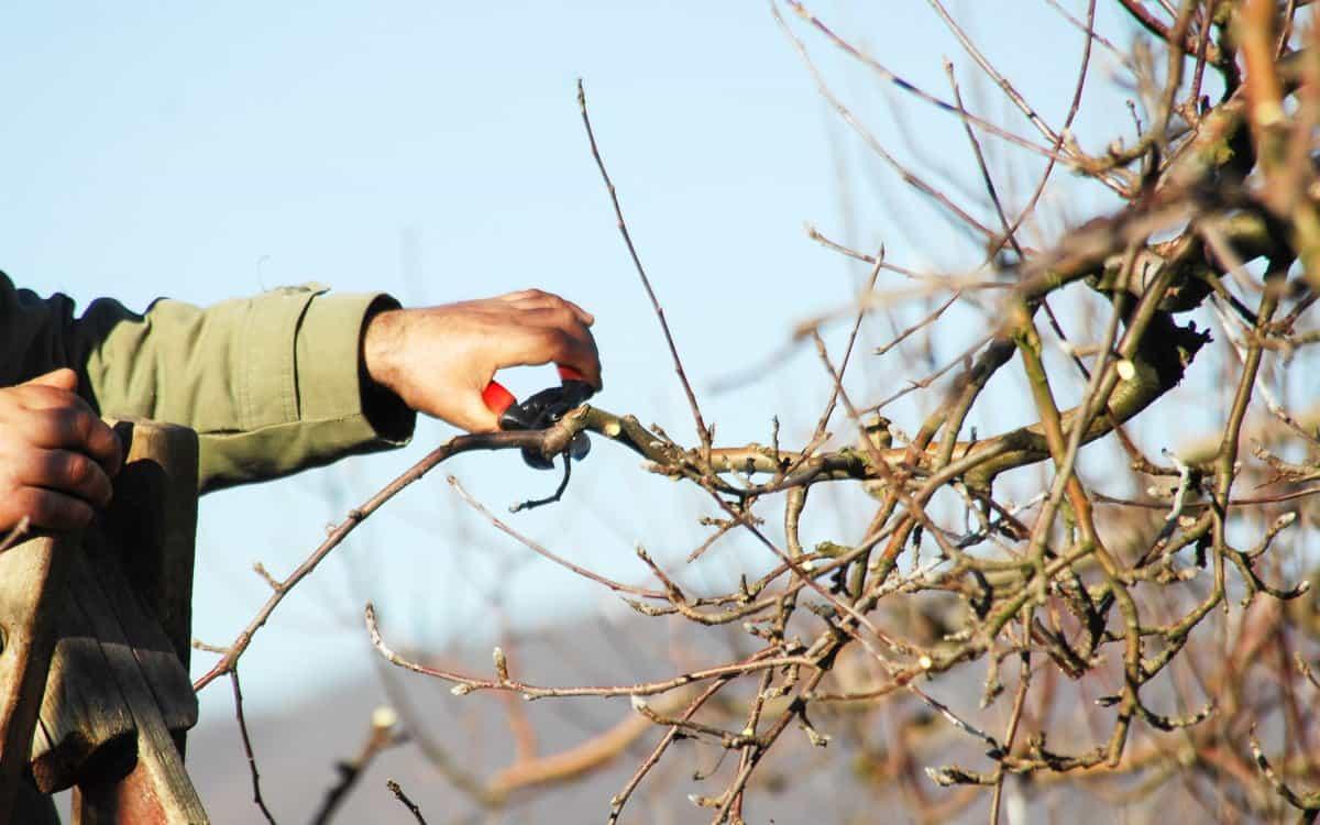 Мечта каждого садовода — яблоня сорта бельфлер башкирский