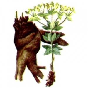 Тысячелистник – уникальный дар природы