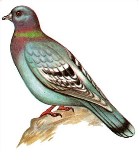 Особенности диких голубей