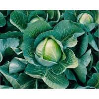 Капуста харрикейн описание сорта | мой сад и огород