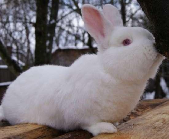 Кролик породы паннон: характеристика породы, особенности разновидностей, правила разведения