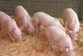 Глубокая подстилка: преимущества и недостатки для свиней, выбор материала, правила использования