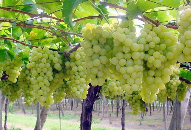 Супер экстра виноград: описание сорта, характеристика и выращивание, уход