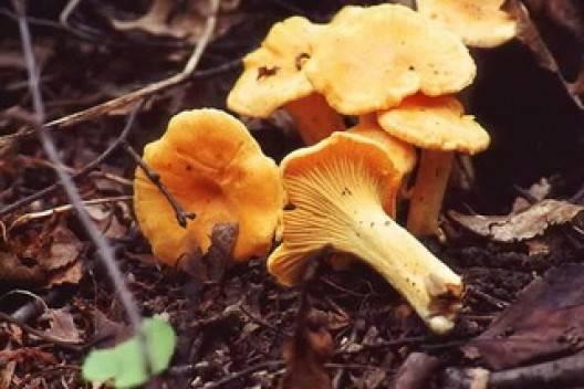Лисички - фото отличий съедобных и несъедобных видов этого гриба