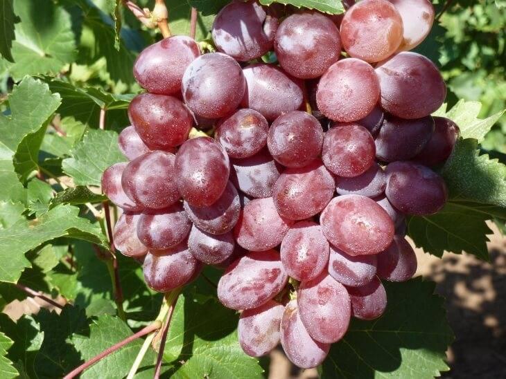 Виноград тимур: описание сорта с характеристикой и отзывами