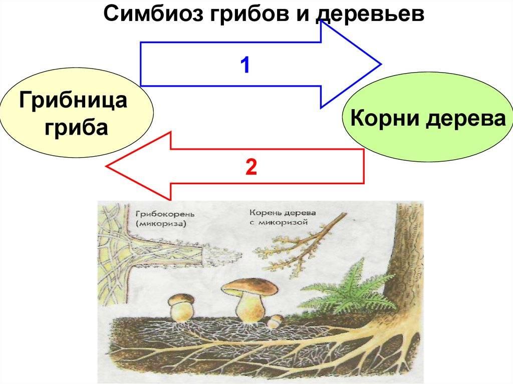 Сапрофитные характеристики, экологическая функция, питание, среда обитания