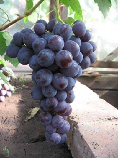 Виноград сорта рошфор