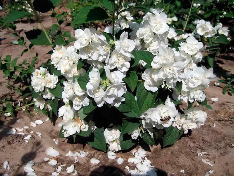 Чубушник: сорта, фото и описание популярных садовых форм чубушник: сорта, фото и описание популярных садовых форм