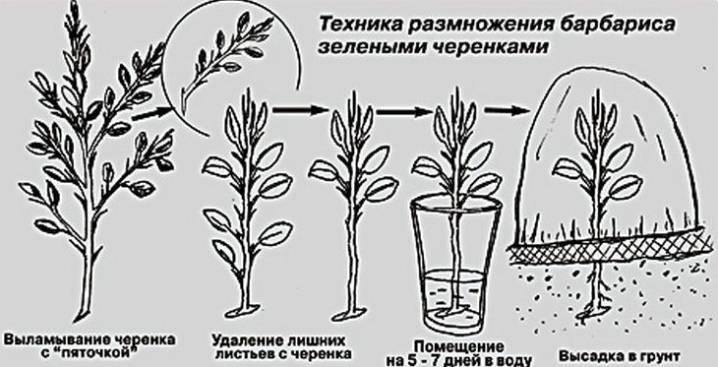 Основные способы размножения барбариса: семенами, корневой порослью, отводками, делением куста и черенками – дизайн кафе