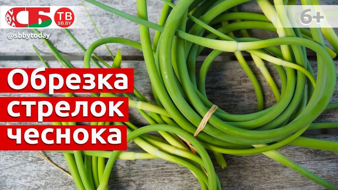 Когда обрывать стрелки у чеснока: нужно и надо лиэто делать, что это дает, становятся ли корнеплоды крупнее,как обрезать или удалять цветоносы, а также все об уходе за овощем после процедуры