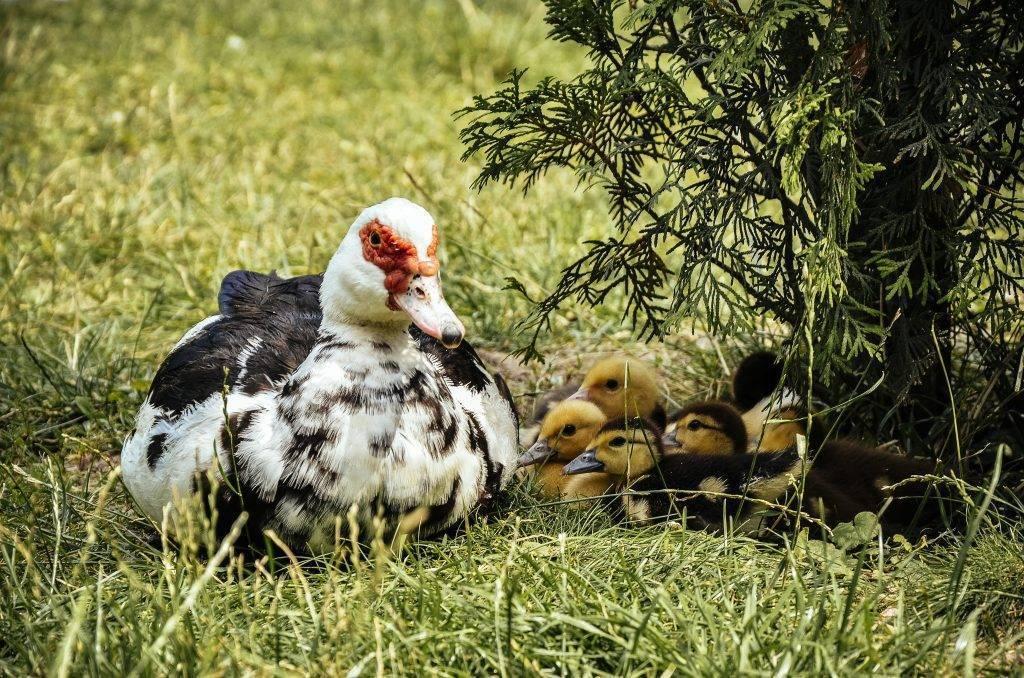 Интересные факты об утках и утятах