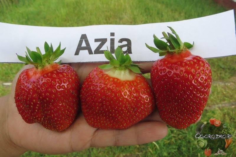 Клубника азия: описание и характеристика сорта, агротехника, видео и фото
