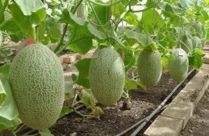 Выращивание арбузов в теплице, в том числе как правильно ухаживать за растениями, а также особенности на урале и в других регионах