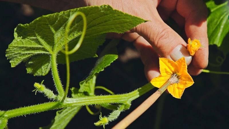 Почему желтеют завязи огурцов - ошибки ухода и полива, болезни и вредители