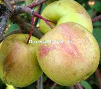 Яблоня сладкая нега: описание, фото, отзывы